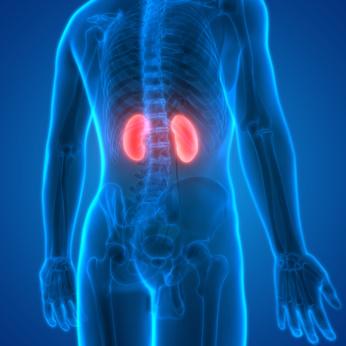 Diagram mit Anzeige der Nieren